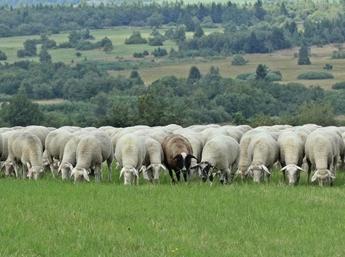 Shafschurwolle in Alpenland - Vorschau ausHerkunft